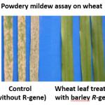 Powdery mildew assay